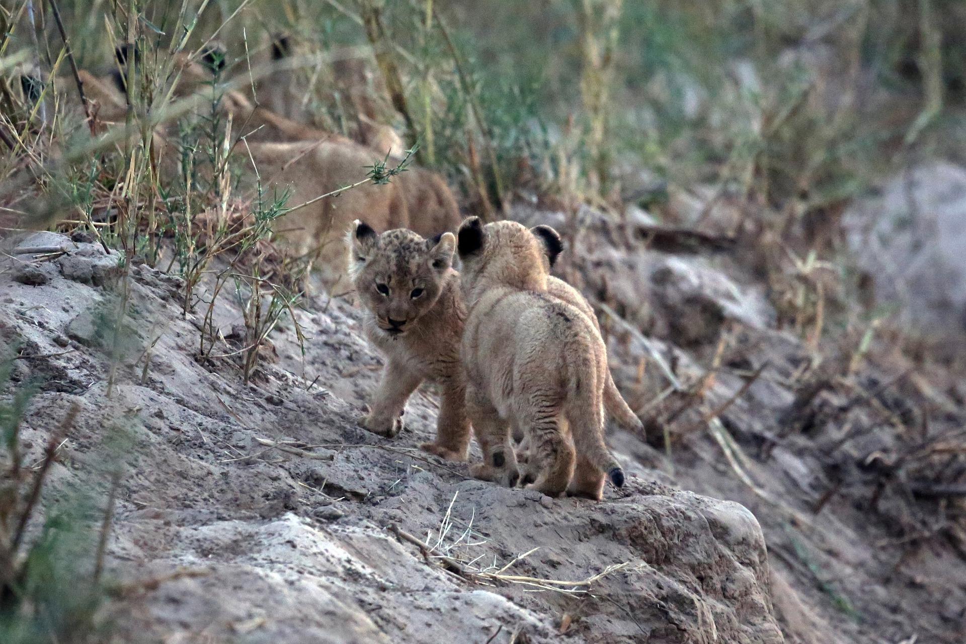 Carrousel -lion-cubs-5278504_1920