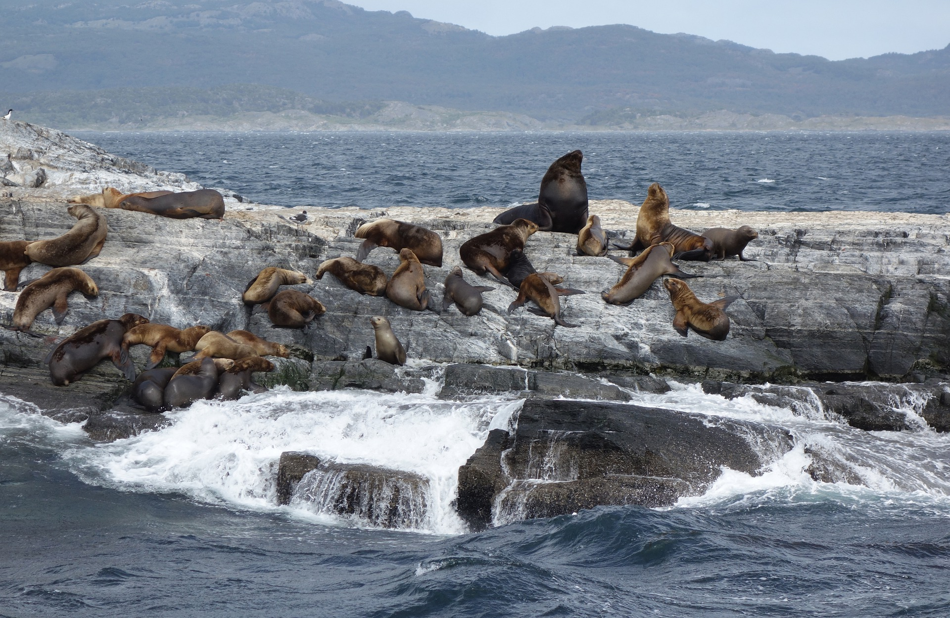 sea-lions-5443242_1920