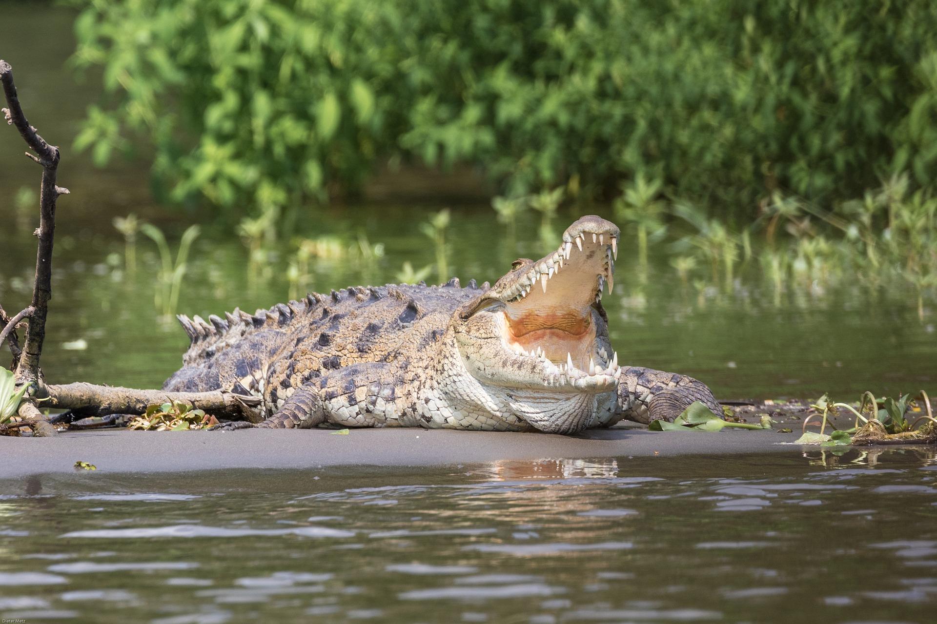 crocodile-2293232_1920
